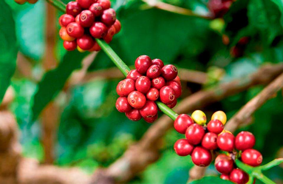 História do Café-Como tudo começou?