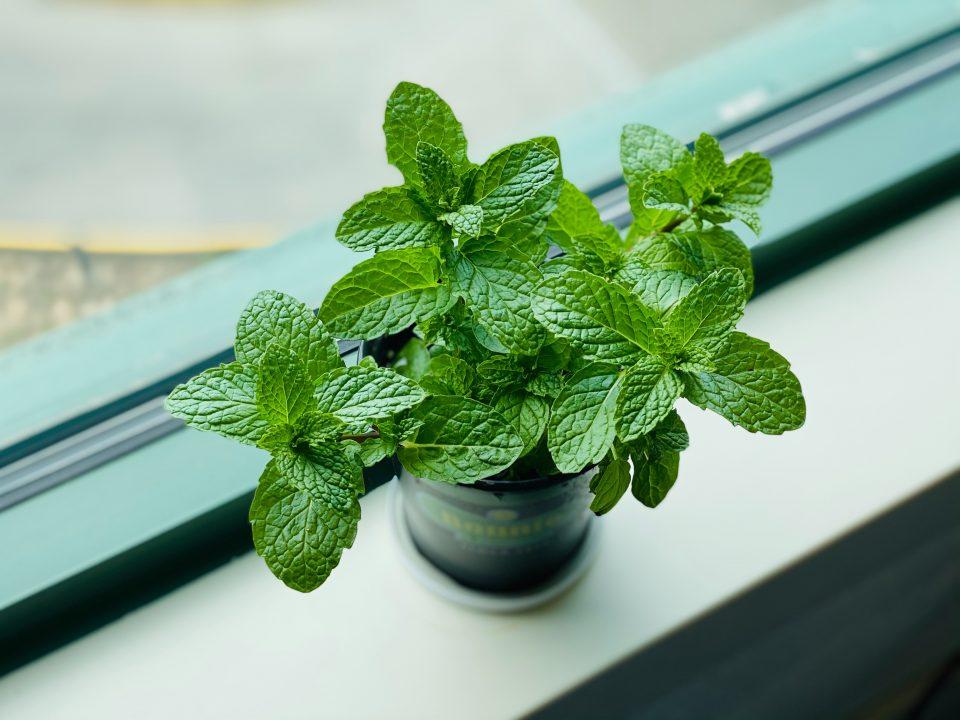 Como cultivar chá? Os melhores para plantar em casa ou apartamento